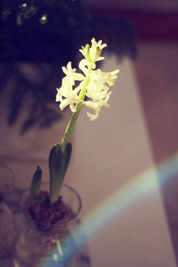 hyacint3
